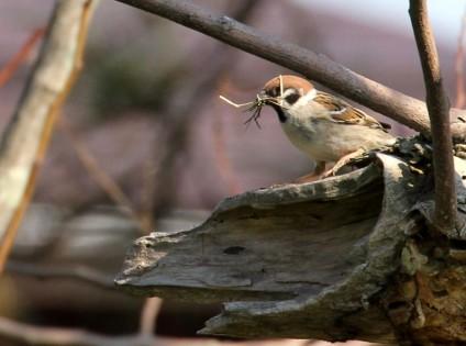 巣材を運ぶ雀