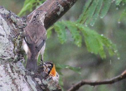 巣から顔を出すヒナ