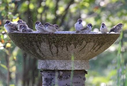 水盤の雀2