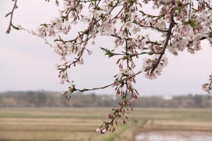 樹下美術館の桜