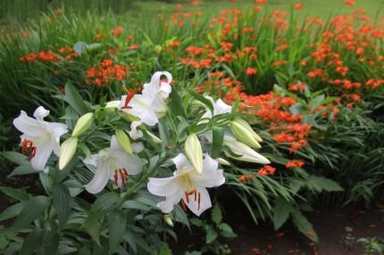 カサブランカと行水の花