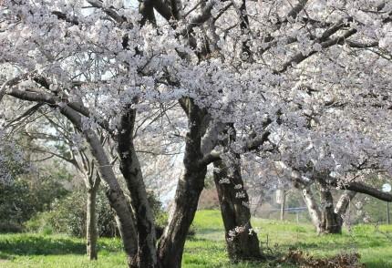 新堀川堤の桜