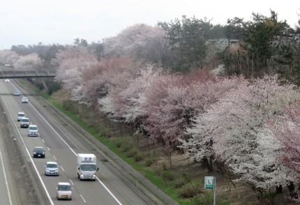 柿崎区の高速道路脇の桜