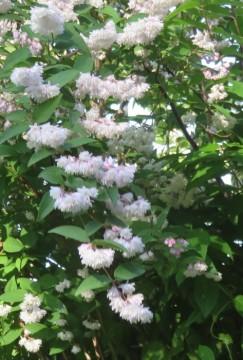 八重の卯の花