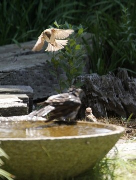 雀とヒヨドリ