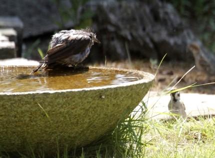 ヒヨドリと雀