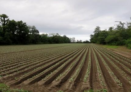 150822石田氏のキャベツ畑