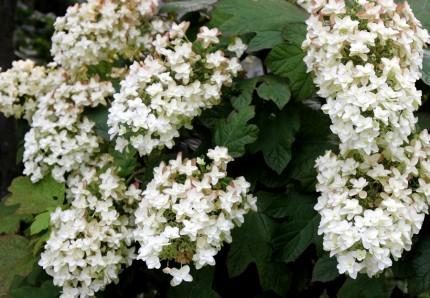 ③150705カシワバの花