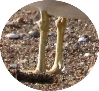 ウミネコの足