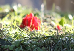 草萌えの椿