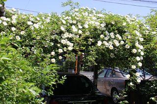 車庫のバラ