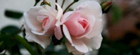 二輪のバラ
