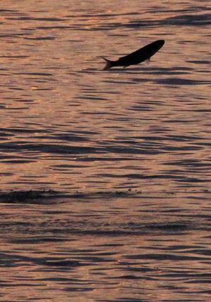 跳ねる魚1