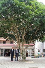 樹木1キンモクセイ