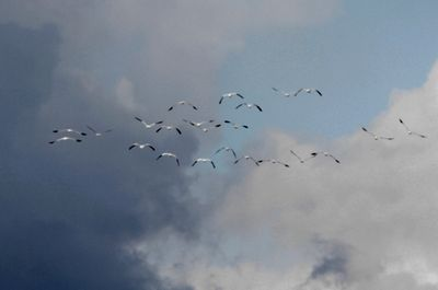 ハクガンの飛翔