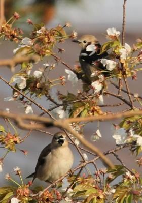 山桜とツガイ