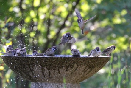 水盤の雀1