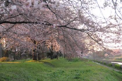 犀潟新堀川の桜
