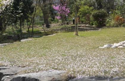 樹下美術館の桜の落花