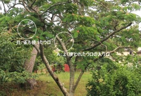 ①2012年の合歓の木