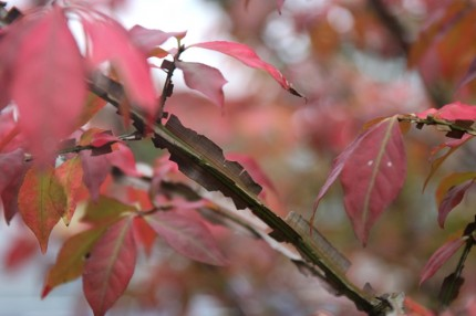 ニシキギの枝