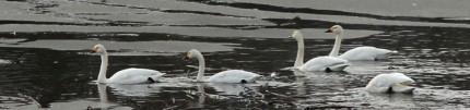 朝日池の白鳥