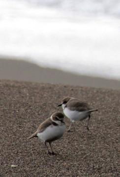 柿崎浜の千鳥