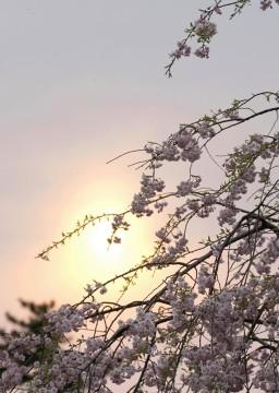 150416ゆうぐれのしだれ桜