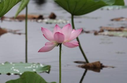 朝日池の蓮