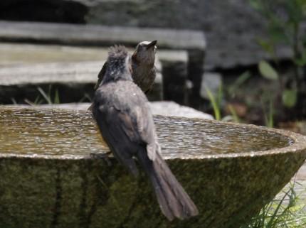 二羽のヒヨドリ