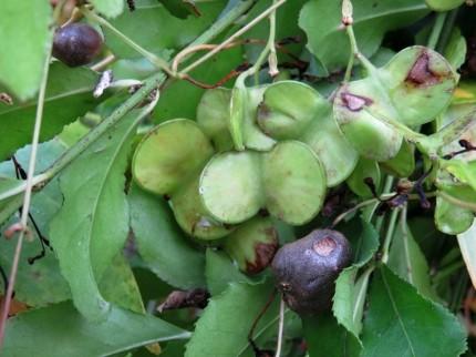 山芋のムカゴと種