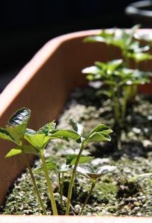 リスマスローズの苗2009年