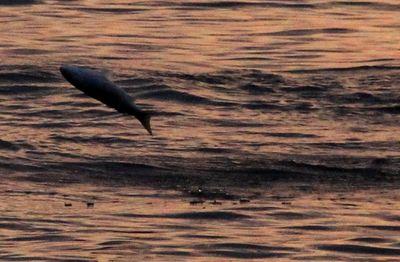 跳ねる魚2