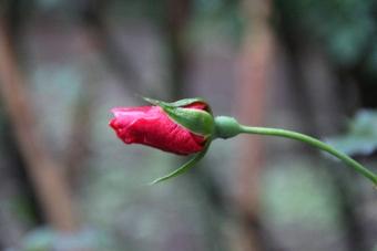 初冬のバラ