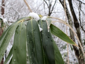 写真: 雪持ち笹