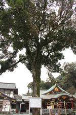 樹木2クスノキ