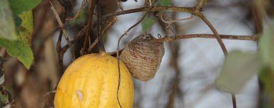 4キカラスウリとカマキリの巣