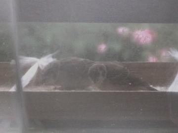 雨の日の雀親子